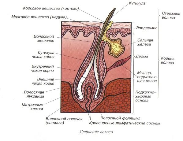 Фотогалерея - Дерматовенерология - Анатомия, физиология кожи Слои Эпидермиса